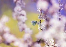 美丽的白色蝴蝶掠过在与开花的灌木的桃红色芽的分支在5月温暖的晴朗的庭院里 免版税库存图片