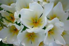 美丽的白色郁金香顶视图  免版税库存照片