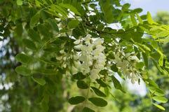 美丽的白色金合欢花在早期的春天 库存图片