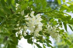 美丽的白色金合欢花在早期的春天 免版税图库摄影