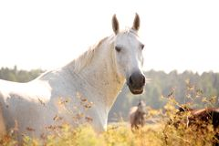 美丽的白色阿拉伯马画象在乡区 图库摄影
