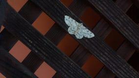 美丽的白色飞蛾 图库摄影