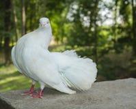 美丽的白色鸟鸠 库存照片