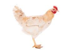 美丽的白色鸡 免版税库存图片