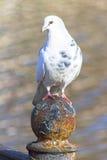 美丽的白色鸽子坐生锈的篱芭 库存照片