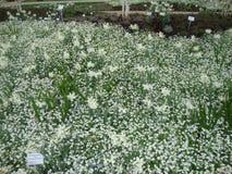 美丽的白色黄水仙 黄水仙在庭院里 免版税库存照片
