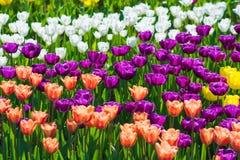 美丽的白色,红色和紫色郁金香领域特写镜头 库存照片