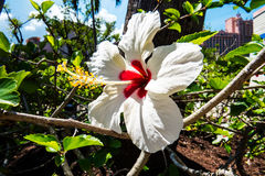 美丽的白色&红色木槿 免版税库存图片