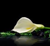 美丽的白色水芋百合 图库摄影