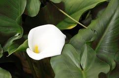 美丽的白色水芋百合 库存图片