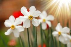 美丽的白色黄水仙花 库存图片