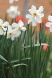 美丽的白色黄水仙花 免版税库存图片