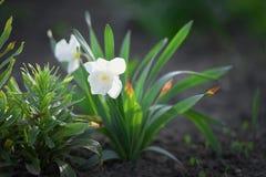 美丽的白色黄水仙 库存图片