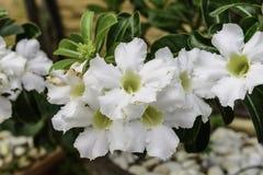 美丽的白色Adenium Obesum 图库摄影