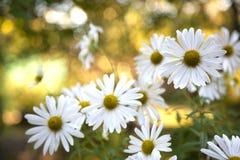 美丽的白色camomiles雏菊在绿色庭院开花 库存照片