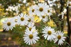 美丽的白色camomiles雏菊在绿色庭院开花 免版税库存图片