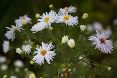 美丽的白色camomiles雏菊在绿色庭院开花 Backgro 免版税图库摄影