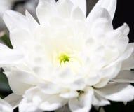 美丽的白花作为背景 特写镜头 免版税库存照片