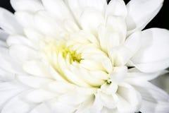 美丽的白花作为背景 特写镜头 免版税库存图片