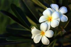 美丽的白花在泰国, Lan thom flowe 免版税库存照片