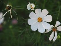 美丽的白花在绿色之间的庭院从上面s离开 库存照片