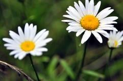 美丽的白花在草中的森林里 库存图片