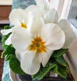美丽的白花 图库摄影