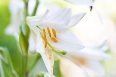 美丽的白花 库存图片