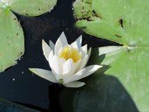 美丽的白花 库存照片
