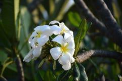 美丽的白花 免版税库存照片