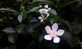 美丽的白花 免版税图库摄影