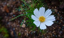 美丽的白花 免版税库存图片