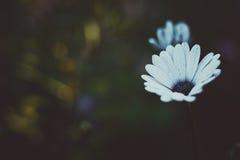美丽的白花Anemos 抽象背景黑暗 空间在拷贝的,文本,您的词背景中 免版税库存照片