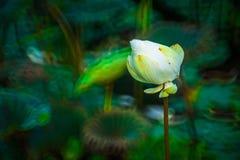 美丽的白莲教花由绿色叶子迷离表面的深颜色恭维 免版税库存照片