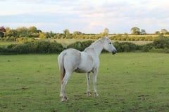 美丽的白马在绿色土地 免版税库存照片