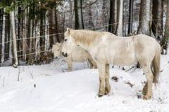 美丽的白马画象在冬天山的 免版税图库摄影
