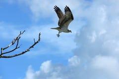 美丽的白鹭的羽毛采取在迈尔斯堡海滩,佛罗里达的飞行 库存图片