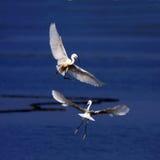 美丽的白鹭 免版税库存照片