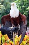 美丽的白头鹰在手边 库存图片