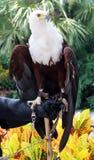 美丽的白头鹰在手边 库存照片