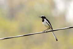 美丽的白browed令科之鸟 免版税图库摄影