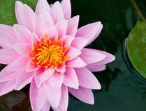 美丽的百合桃红色水 图库摄影