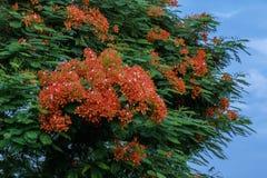 美丽的皇家Poinciana& x27; s flower& x28; 或者菲尼斯flower& x29; 免版税库存照片