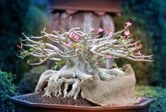美丽的盆景结构树 免版税库存图片