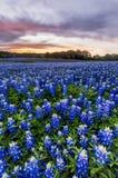 美丽的矢车菊调遣在日落靠近奥斯汀, spri的得克萨斯 免版税库存图片