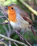 美丽的知更鸟 库存照片