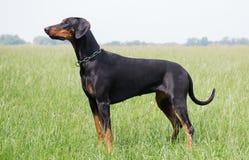 美丽的短毛猎犬短毛猎犬 免版税库存图片
