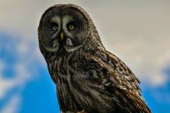 美丽的短耳朵的猫头鹰在贝德福德郡 库存照片