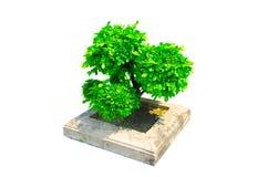 美丽的矮人整理了在白色背景隔绝的一个方形的具体罐的绿色树 免版税库存照片