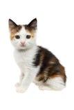 美丽的矮小的三色小猫 免版税库存图片